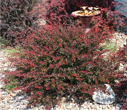 Bush Barberry